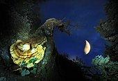 Geva mushrooms (Laetiporus sulphureus) under the moon