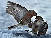 Chaffinch fighting (Fringilla coelebs) in snow