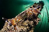 Warty crab (Eriphia verrucosa) on an oyster farm in the Etang de Thau, Hérault, Occitanie, France