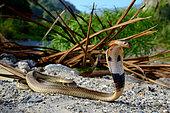 Equatotial spitting cobra (Naja sumatrana), Near Bukittinggi, Sumatra