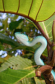 Portrait of Sunda island pitviper (Trimeresurus insularis) in a tree, Komodo