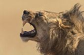 Portrait of Lion (Panthera leo) grinning, Kgalagadi, South Africa