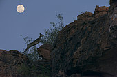 Klipspringer (Oreotragus oreotragus) jumping on rock at the beginning of the night under the moon, Mapungubwe, South Africa