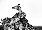 Giraffe (Giraffa camelopardalis) couple embracing, Kruger, South Africa