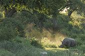 White Rhinoceeros (Ceratotherium simum), Kruger, South Africa