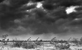 Giraffe (Giraffa camelopardalis) walking under a cloudy sky, Kruger, South Africa