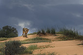 Lion (Panthera leo) walking on sand dune under a stormy sky, Kgalagadi, South Africa