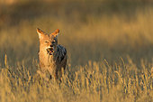 Black-backed Jackal (Canis mesomelas) eating a rodent at sunrise, Kgalagadi, South Africa