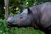 Sumatran rhinoceros (Dicerorhinus sumatrensis) in forest, Rehabilitation center.Way-Kambas. Sumatra.
