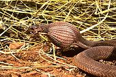 Southern Brown Egg Eater (Dasypeltis inornata) a egg, Sub-Saharan Africa.