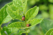 Colorado beetle (Leptinotarsa decemlineata) on organic potato plant, Aveyron, France