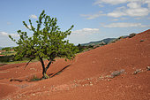 Almond tree in the Rougier de Camarès, Aveyron, France
