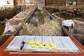 Bagues de marquage et Brebis dans une bergerie, Aveyron, France