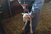 Vaccination of a lamb in a sheepfold, Aveyron, France
