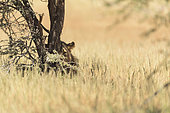 Lion (Panthera leo) young lion behind a tree in the shade, Kgalagadi, South Africa