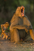 Chacma Baboon (Papio ursinus) yawning at sunrise and young scratching, Kruger; South Africa