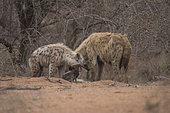 Spotted Hyaena (Crocuta crocuta), Kruger, South Africa
