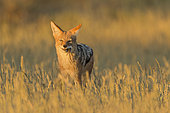 Black-backed Jackal (Canism mesomelas) eating a rodent at sunrise, Kgalagadi, South Africa