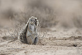Cape Ground Squirrel (Xerus Inauris) sitting, Kgalagadi, South Africa