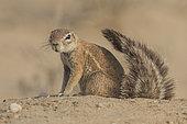 Cape Ground Squirrel (Xerus Inauris) curiosity, Kgalagadi, South Africa