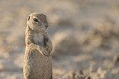 Cape Ground Squirrel (Xerus Inauris) standing, Kgalagadi, South Africa