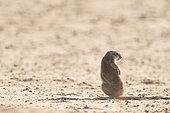 Cape Ground Squirrel (Xerus Inauris) back, Kgalagadi, South Africa
