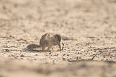 Cape Ground Squirrel (Xerus Inauris) and little sandy cloud, Kgalagadi, South Africa