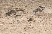 Cape Ground Squirrel (Xerus Inauris) pursuing, Kgalagadi, South Africa