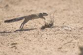Cape Ground Squirrel (Xerus Inauris) jumping, Kgalagadi, South Africa