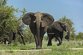 African Elephant (Loxodonta africana) stop, Kruger, South Africa