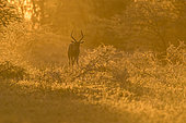 Impala (Aepyceros melampus) walking at sunset, Mapungubwe, South Africa