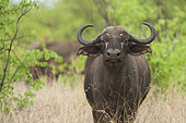 African Buffalo (Syncerus caffer) in savanah, Kruger, South Africa