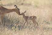 Impala (Aepyceros melampus) cuddling between mother and young, Kgalagadi, South Africa