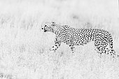 Cheetah (Acinonyx jubatus) walking in savanna, Kruger national ParK, South Africa
