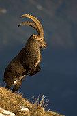 Alpine Ibex (Capra ibex) male fighting, Valais Alps, Switzerland.