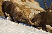 Alpine Ibex (Capra ibex) males fighting, Valais Alps, Switzerland.