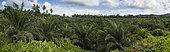 Plantation de Palmier à huile (Elaeis guineensis), société Agripalma, filiale de la Socfin, Village de Monte Mario, Île de Sao Tomé-et-Principe