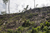 Destruction of the primary forest of Sao Tomé for the establishment of oil palm (Elaeis guineensis) company Agripalma, subsidiary of SocfinAfrique, Village of Monte Mario, Sao Tome and Principe Island