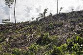 Destruction de la forêt primaire de Sao Tomé pour l'établissement de Palmier à huile (Elaeis guineensis) société Agripalma, filiale de la SocfinAfrique, Village de Monte Mario, Île de Sao Tomé-et-Principe