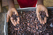 7 year old boy with good and bad cocoa beans after sorting, Santana, Sao Tome and Principe Island