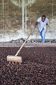 Man showing cocoa beans in a dryer, Bela Vista Village, Sao Tome and Principe Island