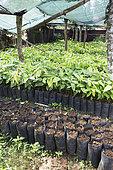 CECAB nursery and Cacao amelonado plantation grafting site, Organic Cocoa Production and Export Cooperative, Fair Trade, Manha Sol, Sao Tome and Principe Island
