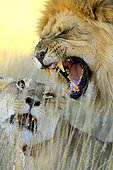 African Lion (Panthera leo) pair mating, Kalahari desert, South Africa