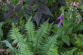 Private wild garden in the woods, Knotweed (Polygonum microcephala), Foxglove (Digitalis sp), Male fern (Dryopteris filix-mas)