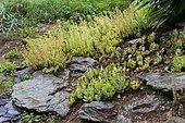 Jenny's stonecrop (Sedum reflexum) 'Angelina' and Sempervivum (Sempervivum sp)