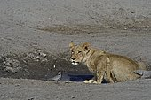 Lion (Panthera leo) Lioness and dove at water point. Botswana