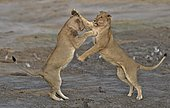 Lion (Panthera leo) Lioness playing after devouring prey, Chobe, Botswana.