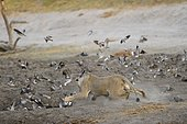 Lion (Panthera leo) Lioness chasing doves at water point. Botswana