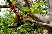 Siberut Black-headed cat snake (Boiga nigriceps brevicauda) eating a bird, Siberut