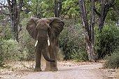 African bush elephant (Loxodonta africana africana) charging, Kruger national park, South Africa